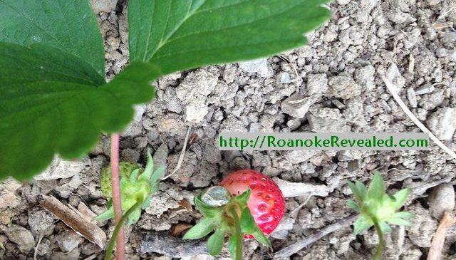 3 easy edible spring harvest perennial delights